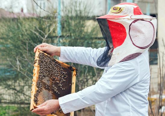 Apicoltore che estrae le api