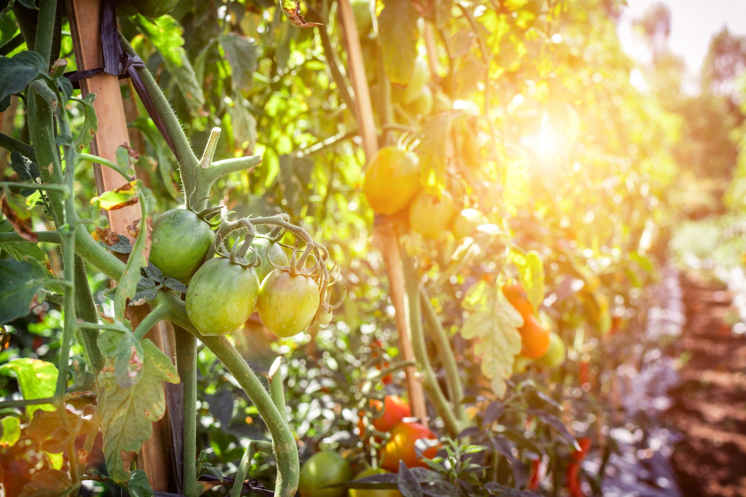 Pomodori sulla pianta nei campi